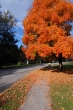 Beautiful Fall tree on N Monticello Dr in Village Green